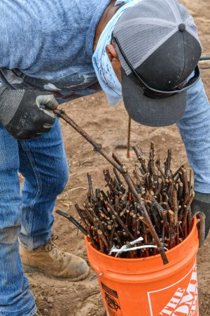 Ready-to-plant vines at Warner Henry Vineyard in the Santa Maria Valley.