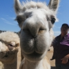 Alpacas at the Ranch of the Oaks in Lompoc