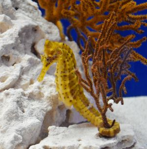 Giant Pacific seahorse is now part of the Jellies & Friends exhibit at the Sea Center.