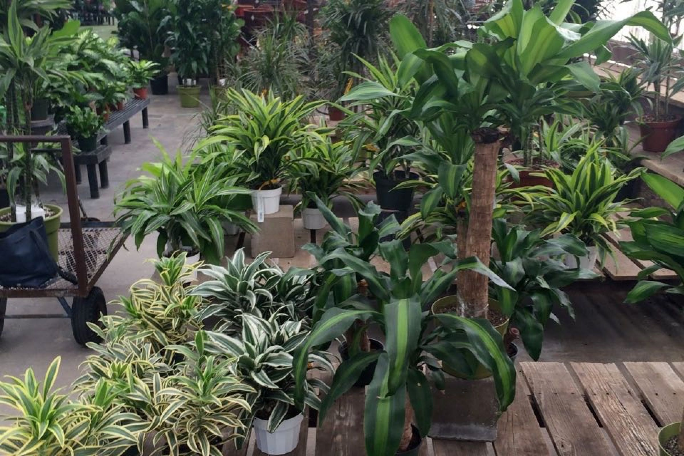 Indoor Trees An Easy Way To Turn Over A New Leaf With Your Home