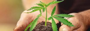 Cannabis cultivation usually occurs in remote areas, not in locations zoned for agricultural use.
