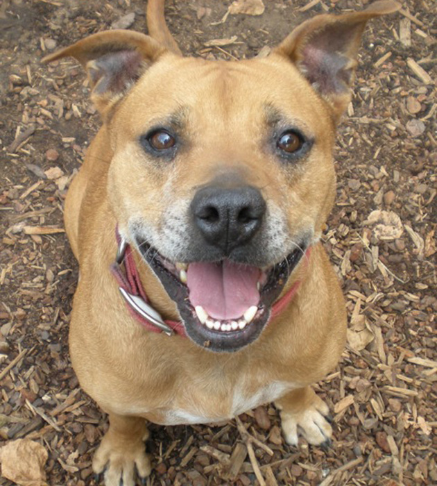 <p>Ruby, a Staffordshire terrier and soft-coated Wheaten terrier mix, is well-mannered and enjoys the company of other dogs as well as people.</p>