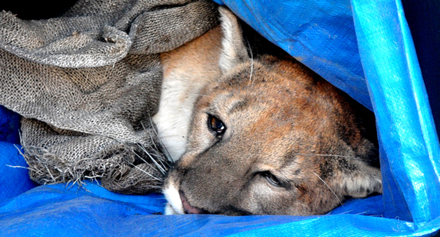The subdued mountain lion awaits a ride to his new home in Los Padres National Forest.