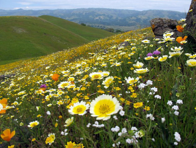 Plants covering Coyote Ridge in Santa Clara County include Layia playglossa (yellow daisies), Lasthenia gracilis (needle goldfields), Cryptantha, Eschscholzia californica (California poppy) and Dichelostemma capitatum. (Jenn Yost photo)