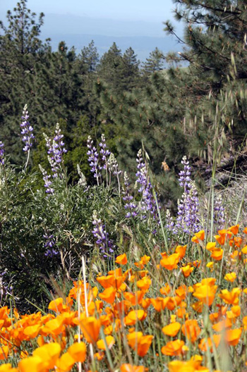 Plants on Figueroa Mountain include Eschscholzia californica (California poppy), Lupinus albifrons (silver bush lupine), Pinus ponderosa (Ponderosa pine) and Pinus coulteri (Coulter pine). (Debbie Donahue photo)