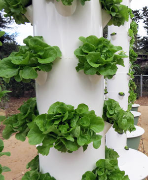 heads of lettuce flourish in one of green city farms vertical gardens ...