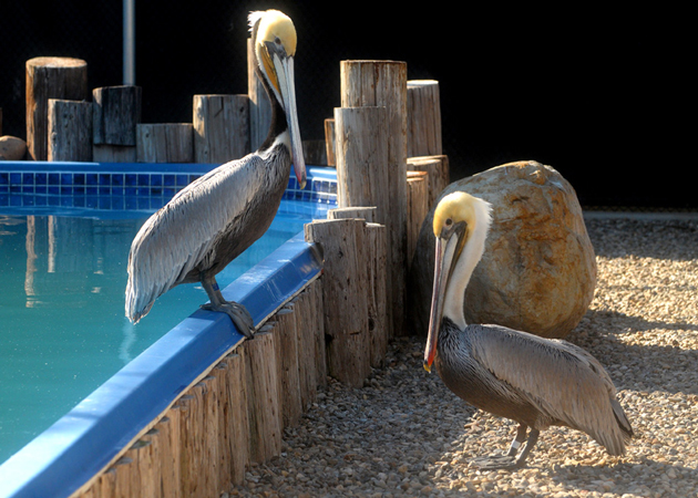 Two California brown pelicans bask in the sunshine at the Santa Barbara Wildlife Care Network's facility in Goleta. The organization's first phase of development at the North Fairview Avenue site involved installing sea-bird ponds inside two aviaries. (Lara Cooper / Noozhawk photo)