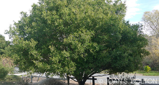 Our beautiful coast live oaks are at risk from the drought, and will benefit from wintertime deep waterings. (Joan S. Bolton photo)