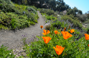A California poppy blooms along a trial at the Santa Barbara Botanic Garden. (Lara Cooper / Noozhawk photo)