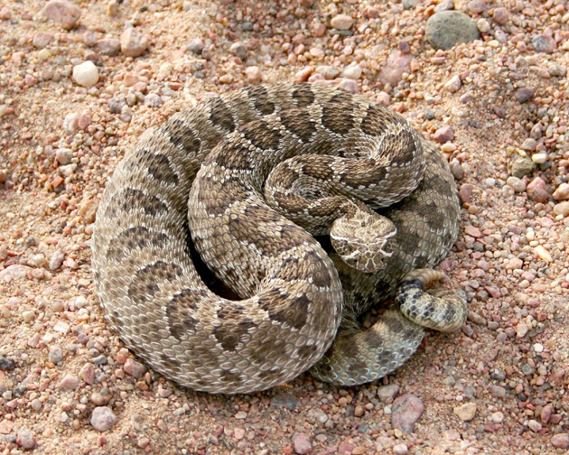 <p>Western rattlesnakes are native to California and so cannot be sold or imported into the state.</p>