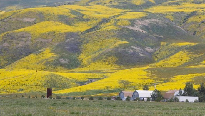 "Last year's ""superbloom"" covers a hillside in the Temblor Range in March 2017."
