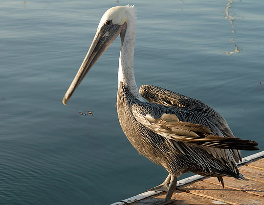 Bentwing, an ubiquitous presence at the Santa Barbara Harbor, and his fellow California brown pelicans have been delisted as endangered species. Bentwing is the hero of a series of children's books written by Noozhawk columnist Capt. David Bacon. The books are being illustrated and will hopefully be published soon.