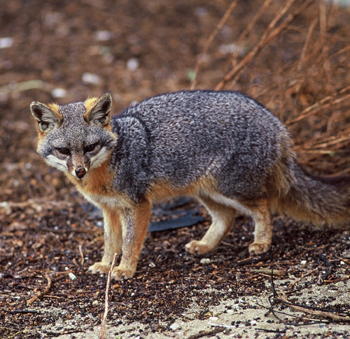 Feral cats on San Nicolas Island were in direct competition with endemic island foxes, a federally protected species.