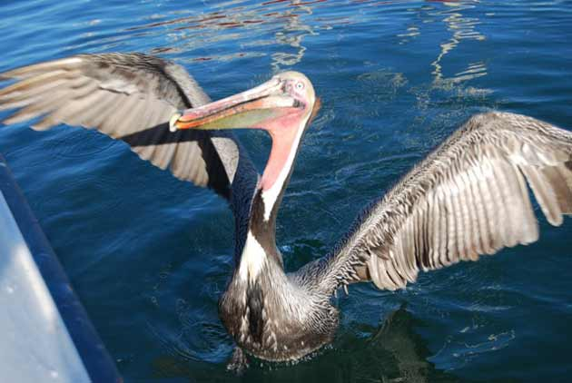 Pelican tries stealing fish off hooks of  anglers on boat.