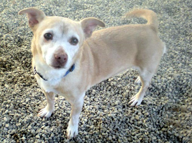 <p>Molly, a chihuahua/Jack Russell terrier mix, was adopted in 2006 but recently returned to Santa Barbara County Animal Services after her owners became ill.</p>