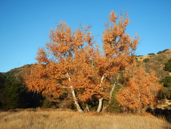 Blazing orange sycamores stand out at Cottam Camp.
