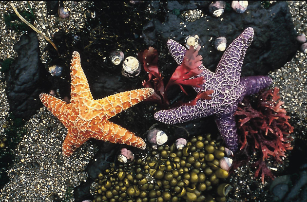 Sea stars of the California coast.