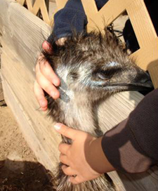 Lucky, born last year at Laguna Blanca School, now lives at Ostrich Land in Buellton.