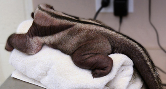 <p>The Santa Barbara Zoo&#8217;s newborn giant anteater weighed about 3½ pounds when he was born March 1 and 4 pounds on Friday.</p>