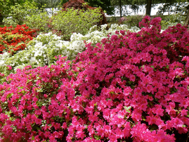 Spring azaleas are in bloom at the Missouri Botanical Garden.