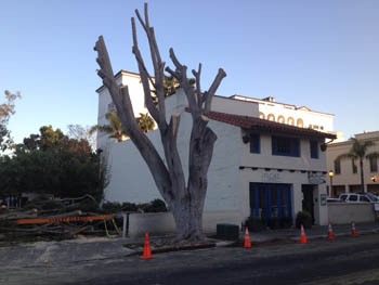 After a day of trimming, the Canon Perdido tree was a shadow of its former self by Tuesday evening. (Tom Bolton / Noozhawk photo)