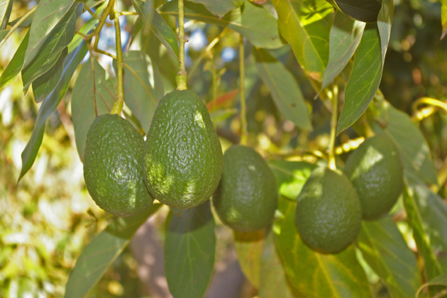 In an effort to reduce water use, the Goleta Water District 's Cash for Crops program will give rebates to agricultural customers willing to take permanent crops such as avocado trees out of production temporarily.