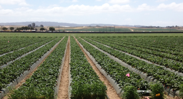 A field of strawberries grows along Betteravia Road in Santa Maria. Strawberries were Santa Barbara County's top crop in 2013. (Tom Bolton / Noozhawk file photo)