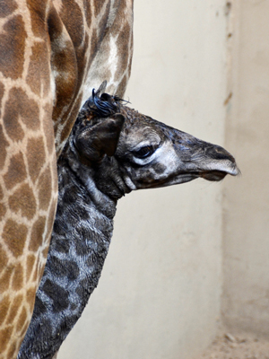 The Masai giraffe calf born Thursday at the Santa Barbara Zoo is nursing and appears to be doing well, according to zoo official. (Santa Barbara Zoo photo)