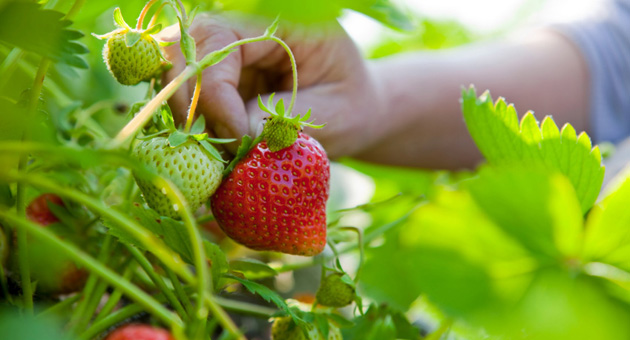 <p>Strawberries were in the cream of the crops for Santa Barbara County agricultural production in 2011, with a gross value of more than $366 million.</p>