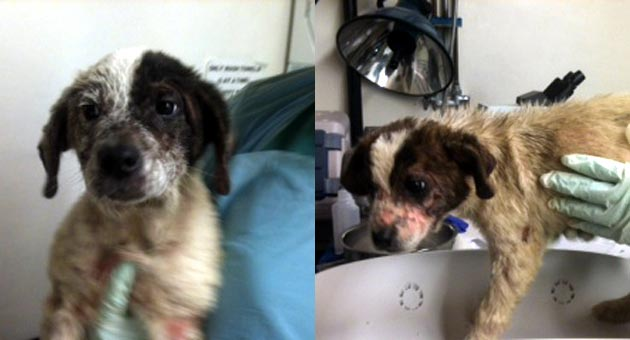 The Dog Adoption & Welfare Group has taken in nine puppies this week with contagious sarcoptic mites. The dogs were found in the same location with the same condition and all appear to be the same age, but it's unclear if they are related. (DAWG photos)
