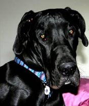 Chenpo McCarty Great Dane