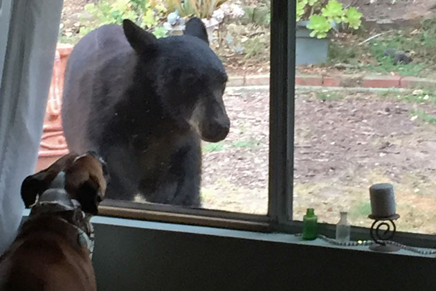 A black bear paid a visit to Goleta Mayor Paula Perotte's yard on May 11 as it roamed around the western Goleta Valley.