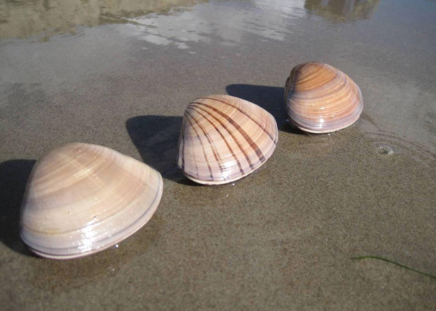 <p>Pismo clams (<em>tivela stultorum</em>) in Ventura.</p>