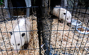 A pair of possums that Callahan looks after get some exercise time in their temporary pens. Callahan, who operates a nonprofit rehabilitation center for small mammals, had to evacuate her home and rehab center with 26 animals as the Jesusita Fire swept toward them May 5.