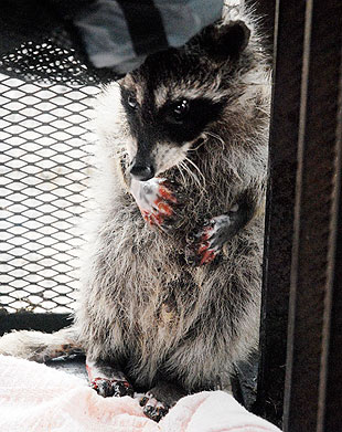 This raccoon's paws were burned severely in the fire, but Callahan and a veterinarian are applying antibiotics and ointment to the wounds three times a day.