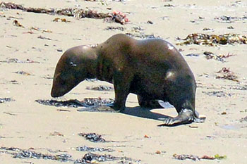 A seal pup hauled up onto the shore Saturday at Refugio State Beach. The animal did not appear to be affected by oil. (Mike Eliason / Santa Barbara County Fire Department photo)