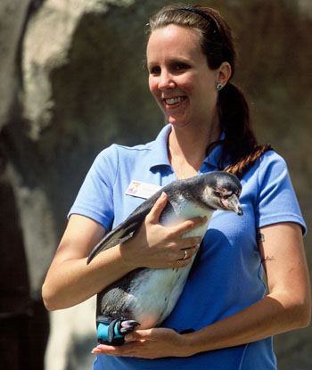 Santa Barbara Zoo bird keeper Rachel Miller holds Lucky the penguin, fitted with a protective boot created by Teva for his disabled foot.