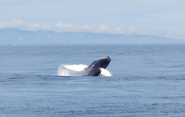 <p>Blue and humpback whales started showing up this month in large numbers to feed in our nutrient-rich coastal waters.</p>