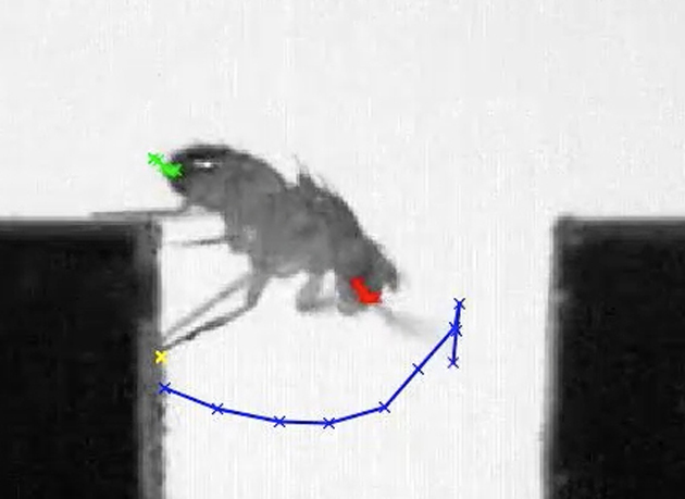 A wild-type fruit fly crosses a 3.5-mm gap.