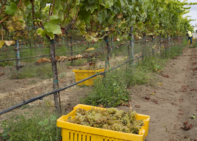 <p>Agribusiness students will receive hands-on experience this summer at Allan Hancock College&#8217;s four-acre vineyard on the Santa Maria campus, where the grapes are harvested and crushed in the campus winery.</p>