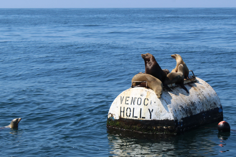 Many of the sea birds and marine mammals commonly seen along Santa Barbara's coastline, including sea lions, were discovered dead or emaciated in recent months due to domoic acid poisoning, caused by a neurotoxin from algae.
