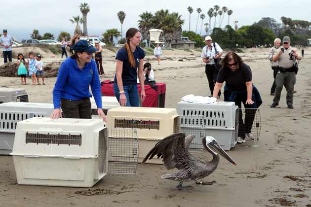 Wildlife workers release 10 brown pelicans on Friday at Goleta Beach. The birds had been oiled by the oil spill off Refugio State Beach and had been captured May 22-29.