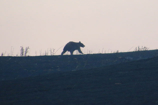 A bear heads away from the smoke of the Sherpa Fire Thursday morning.