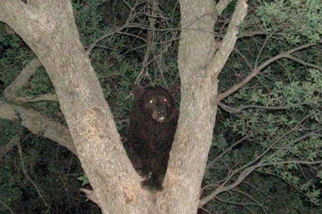A black bear shows it can be a proficient tree-climber.