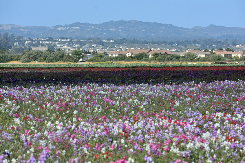 Lompoc Valley Flower Festival Plans Space Theme For 66th Edition