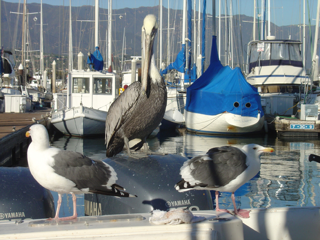 Junior the pelican and seagulls What and Up at the Santa Barbara Harbor. (Capt. David Bacon / Noozhawk photo)