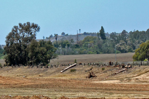 Stumps are all that remain of more than 50 eucalyptus trees that were cut down by the developer of The Village at Los Carneros in Goleta. City officials last week halted the cutting, but later determined it was allowed under the project's landscape plan.