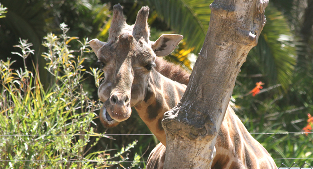 Sulima the giraffe, a longtime resident of the Santa Barbara Zoo, had been in declining health and was euthanized Monday. (Sarah Varsik photo)