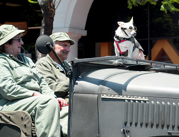A pup gets a ride on top of a vintage miltary vehicle during Thursday's Fourth of July Parade in Santa Barbara.