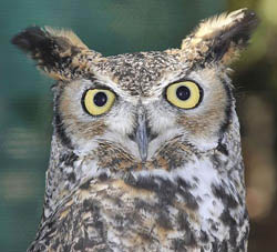 Max, a great horned owl, is instrumental in helping the Santa Barbara Museum of Natural History and Eyes in the Sky raise young owls